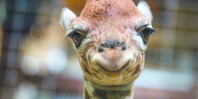Жирафёнок улыбается в камеру.