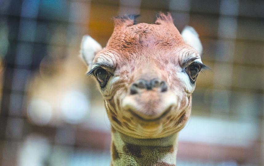 Жирафёнок улыбается в камеру. Фото Getty