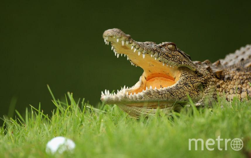 Австралийцы массово дарили друг другу на Рождество живых крокодилов. Фото Getty