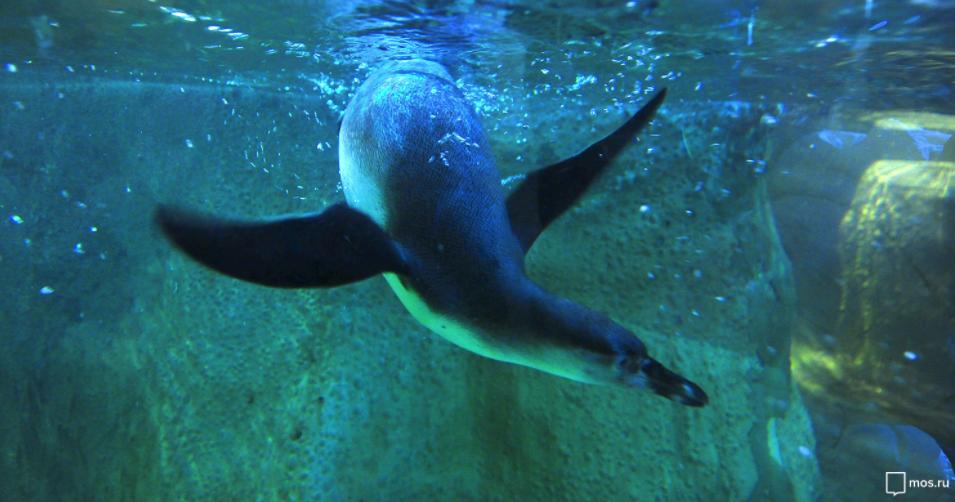 В Московском зоопарке появились шесть папуанских пингвинов. Фото mos.ru