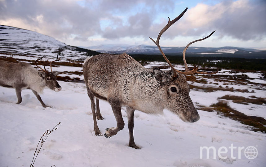 Северный олень. Фото Getty