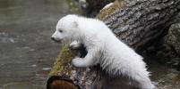 Олень, медведь, морж и барс написали письма Деду Морозу