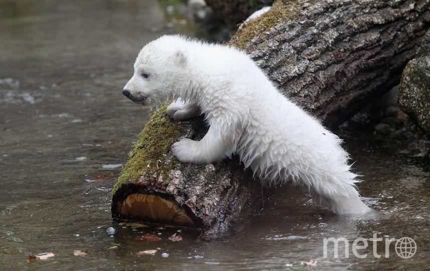 Белый медведь. Фото Getty