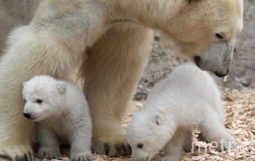 Белая медведица с медвежатами. Фото Getty