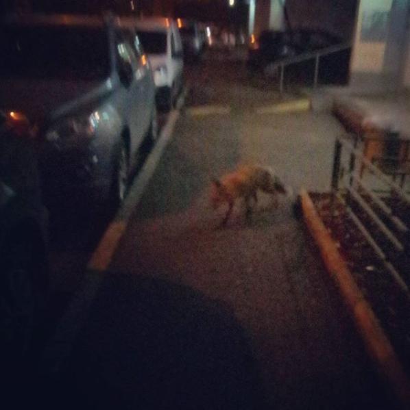 Дикие лисы пришли в столицу
