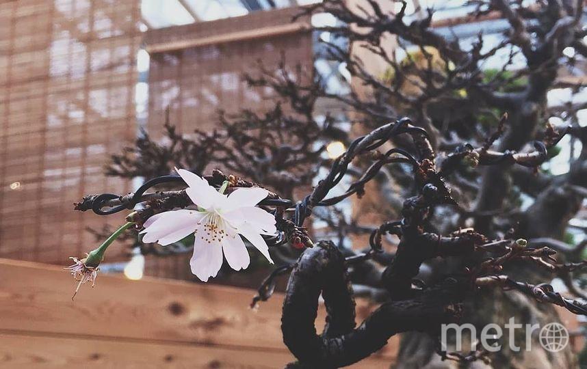 """Полюбоваться на редкие и крайне ценные деревья размером с комнатное растение можно до 28 января включительно. Фото пресс-служба """"Аптекарского огорода"""", Предоставлено организаторами"""