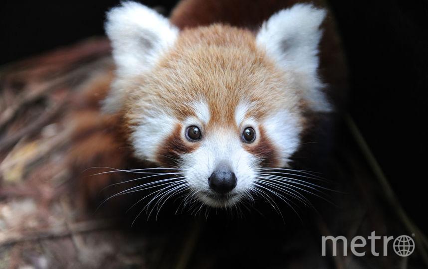 Красных панд и ягуарунди из Московского зоопарка лишили личной жизни. Фото Getty