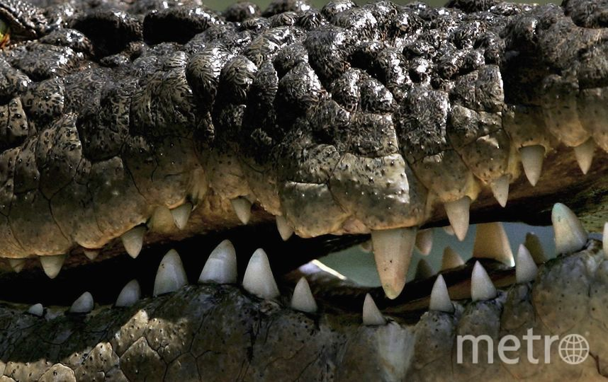 Петергофские полицейские нашли двухметрового крокодила вместо оружия. Фото Getty