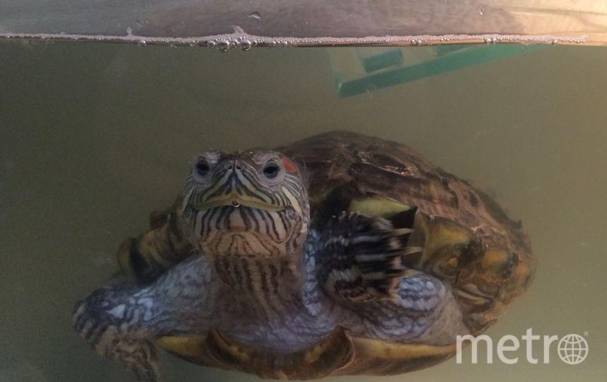 Эту черепаху подкинули на Городскую ветстанцию. Фото ветстанция