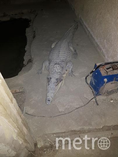 Крокодила в Петергофе хорошо кормят. Фото ГУ МВД Петербурга.