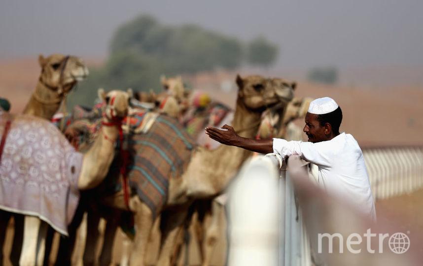 12 верблюдиц сняли сконкурса красоты из-за ботокса— Аравия