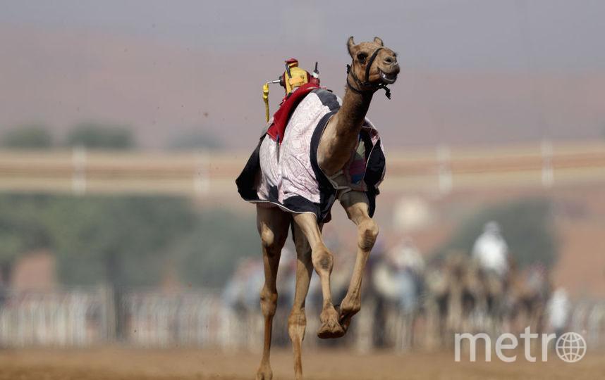 Конкурс красоты для верблюдов проходит в Эр-Рияде. Фото Getty