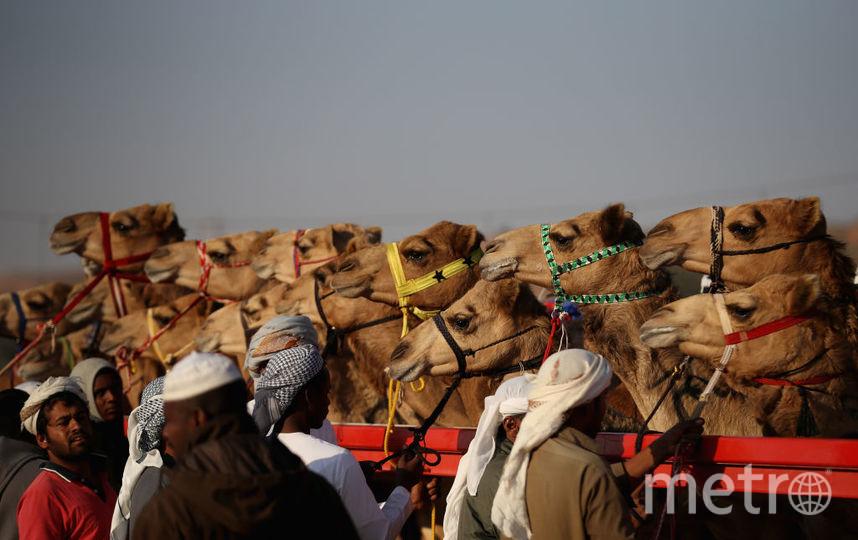Из-за ботокса невсе верблюды допущены к«конкурсу красоты»— Эр-Рияд