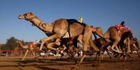 Верблюдов выгнали с конкурса красоты из-за ботокса