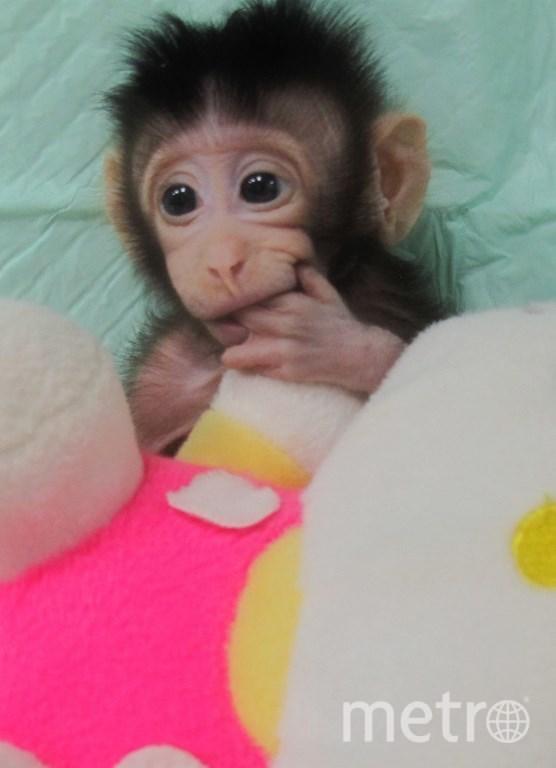 Клонированные приматы. Фото AFP