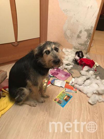 Знакомьтесь, это наш пес Честр!!! Очень не любит оставаться дома один )))) Виктория, читательница газеты Metro.