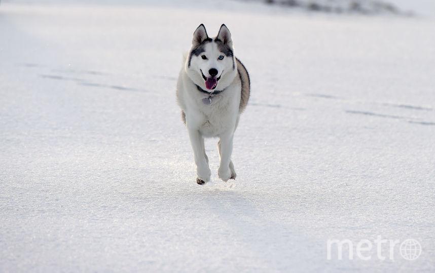Хаски. Фото Getty