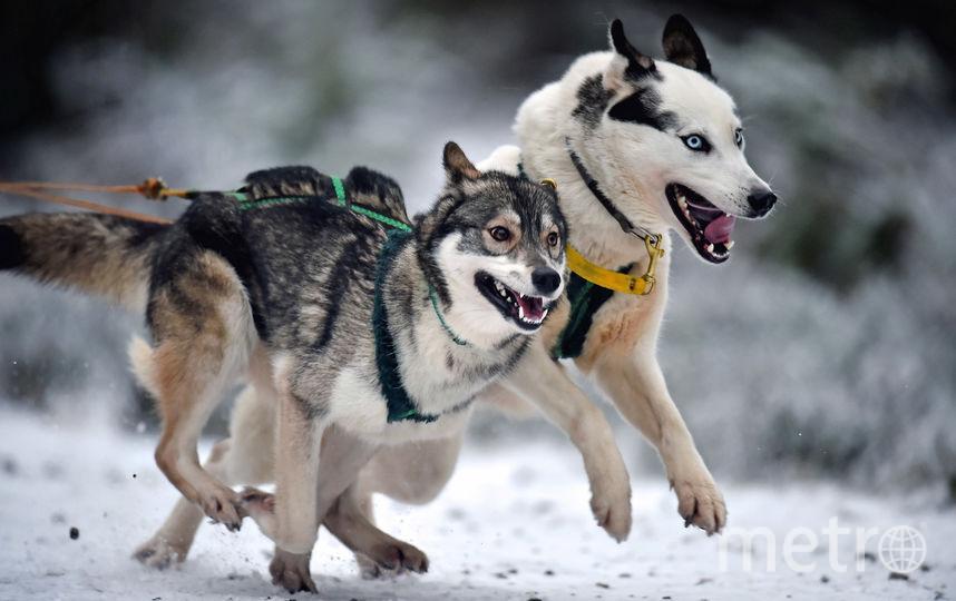 Собачья упряжка. Фото Getty