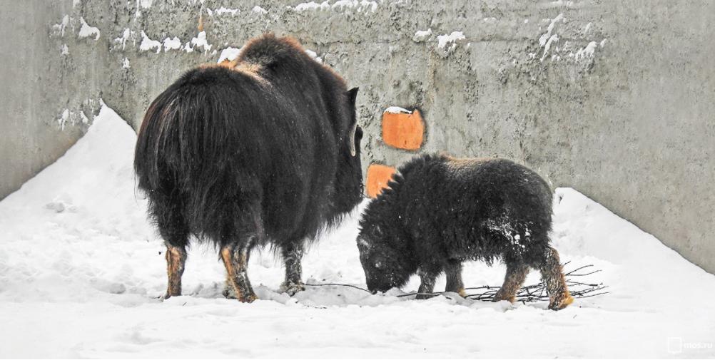 В Московском зоопарке родился самец овцебыка. Фото mos.ru
