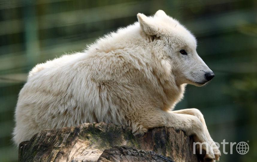 Волк. Фото Getty