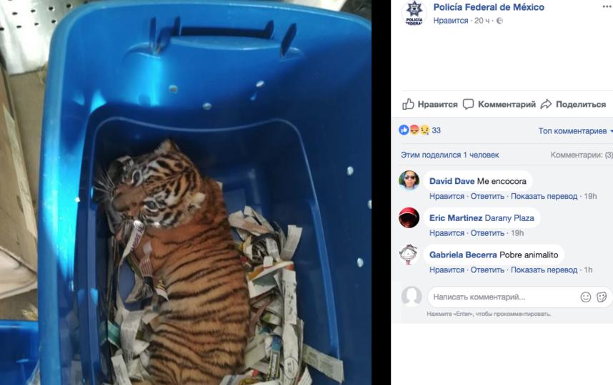 Живого тигренка отправили по почте. Фото Скриншот Facebook.com/PoliciaFederaldeMexico