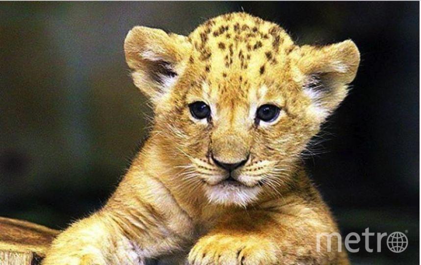 Малыш львенок, родившийся в 2016 году. Фото http://www.spbzoo.ru