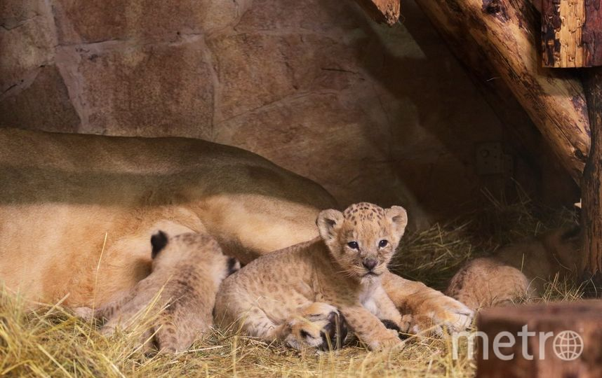В Ленинградском зоопарке родились три львенка. Фото Getty