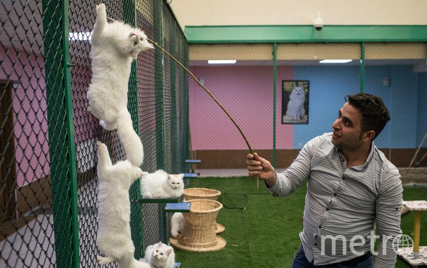 Ванские коты. Фото Getty