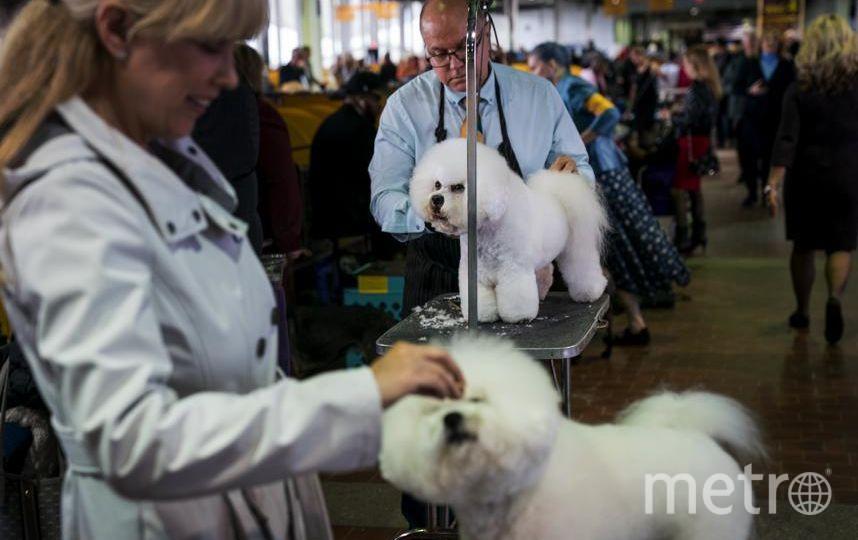 Westminster Dog Show-2018. Бишон фризе (Bichon Frise) по кличке Флинн. Фото Getty