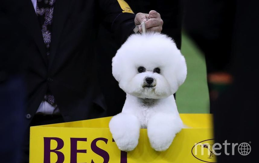 Westminster dog show-2018. Собака-победитель по кличке Флинн. Фото Getty