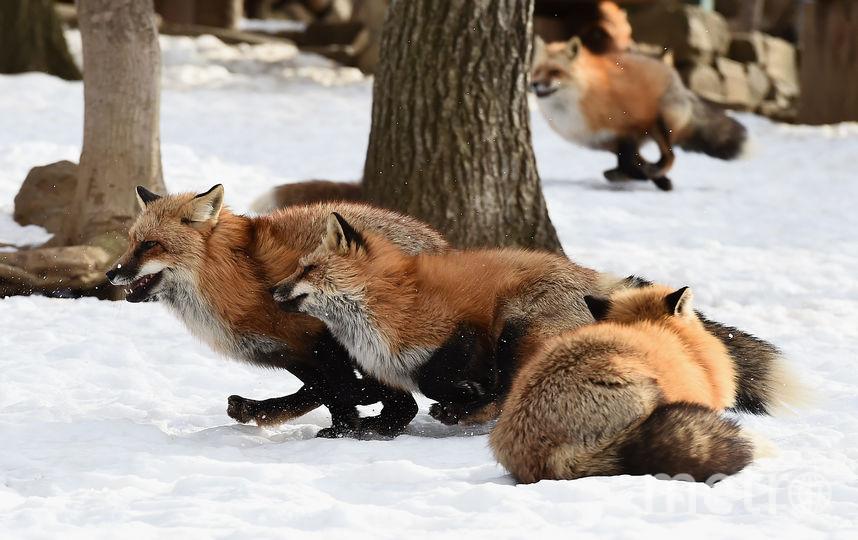 Обычно лисы сторонятся человека. Фото Getty