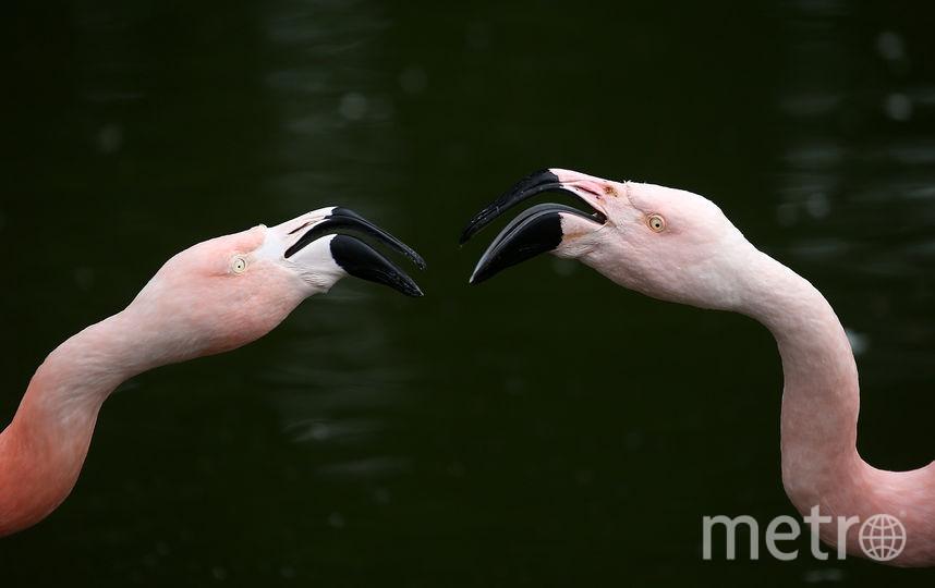Роскошный отель на Багамах ищет смотрителя фламинго. Фото Getty