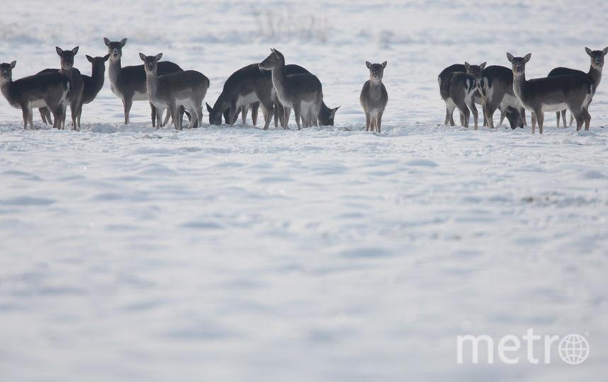Законопослушные канадские олени насмешили Cеть. Фото Getty