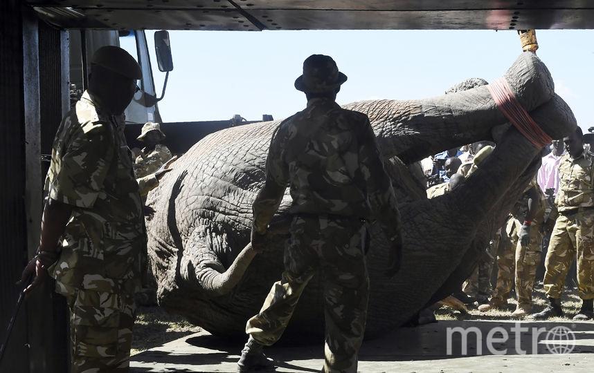Работники Службы охраны дикой природы Кении готовятся перевозить слона. Фото AFP