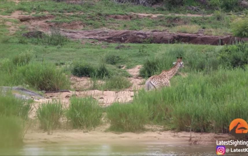 Скриншот из видео. Фото Kruger Sightings, Скриншот Youtube