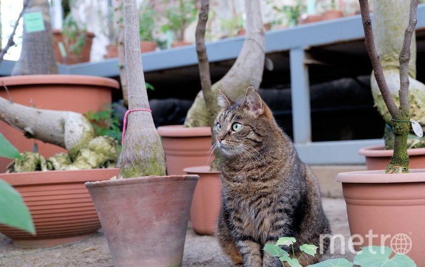 """Кошки Ботанического сада. Сильва следит за порядком и лучше всех ловит мышей. Фото Алена Бобрович, """"Metro"""""""