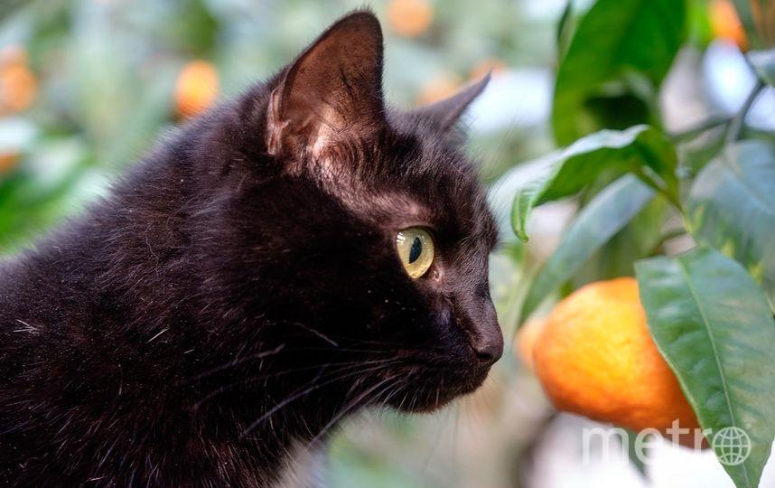 """Кошки Ботанического сада. Багира отдыхает под мандариновым деревом. Фото Алена Бобрович, """"Metro"""""""
