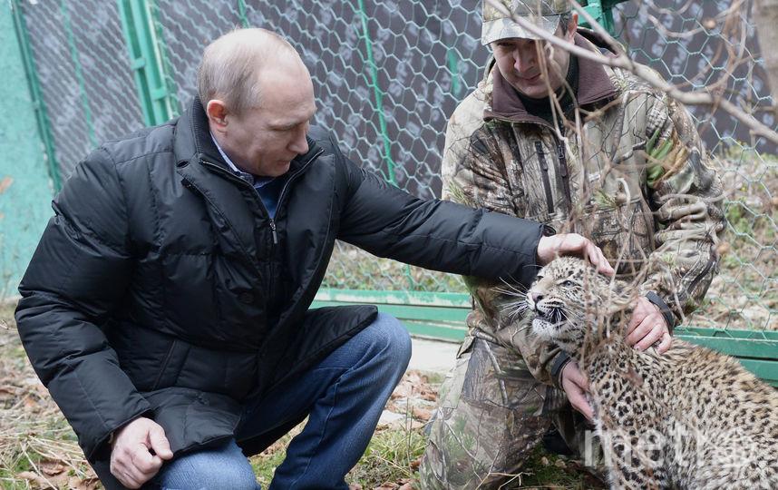 Владимир Путин лично курирует работу программ по сохранению редких диких кошек. Фото ТАСС | Алексей Никольский.