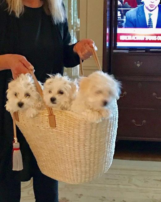 У Стрейзанд живут две клонированных собаки. Певица также ухаживает за Мисс Фанни – кузиной Саманты, которая выглядит так же, как и клоны. Фото Instagram @barbrastreisand
