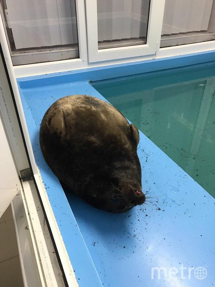 Нерпенок Крошик начал линять раньше положенного срока. Фото Спасение тюленей 699-23-99