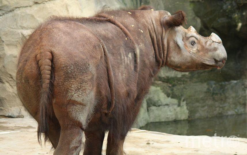Ближайший современный родственник шерстистого носорога — суматранский носорог.