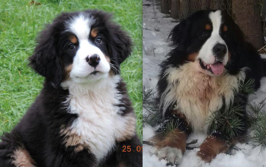 Это Ричард, Бернский Зенненхунд. На первом фото ему 2,5 месяца, на втором - 1 год и 8 месяцев. Это большой добряк, дружелюбный и игривый. Фото Елена