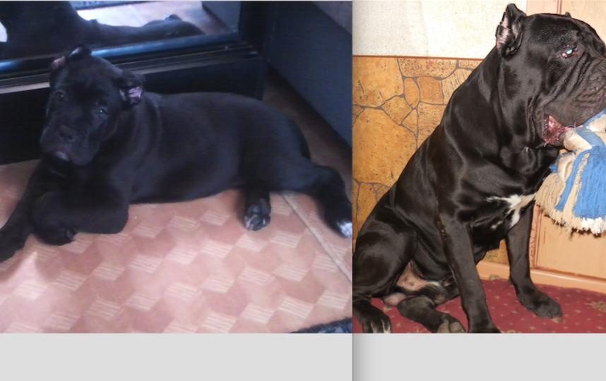 6 лет назад мы завели себе котика и собачку, что из них выросло судить вам. Нашего котика мы назвали Дымок (когда хулиганит зовем Дымч) это чудесное плюшевое, хитрое существо с душой человека у него есть замечательный друг-охранник, нашу собаку зовут Юлий-Цезарь (дома просто Юлий) это 65 кг. доброты и верности. Вот уже 6 лет наши друзья живут вместе и каждый день дарят нам свою любовь и много положительных эмоции. Мы всей семьей говорим им: «Живите долго, дружно и будьте здоровы! Ваша семья!». Фото Юлия Анатольевна Повало-Швейковская