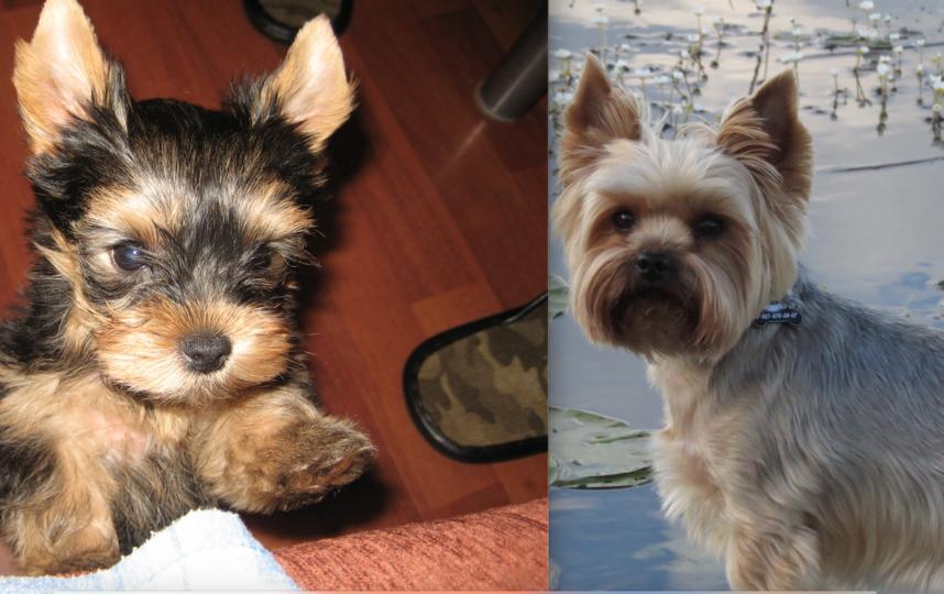 На первом фото Мэрлин 1,5 месяца , первые дни дома. И за 7 лет из маленького шилопопового создания вырос в серьёзного вальяжного барина , на 2 фото. Фото Кузнецова Светлана.