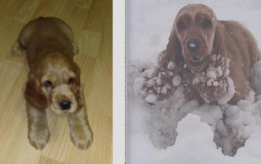 """Нашу красавицу зовут """"Сэми"""".Английский кокер-спаниель с очень добрым русским характером. На первой фотографии Сэмке месяц, на второй-два года. Очень-очень любит игрушки, зиму и глубокий снег!!!"""
