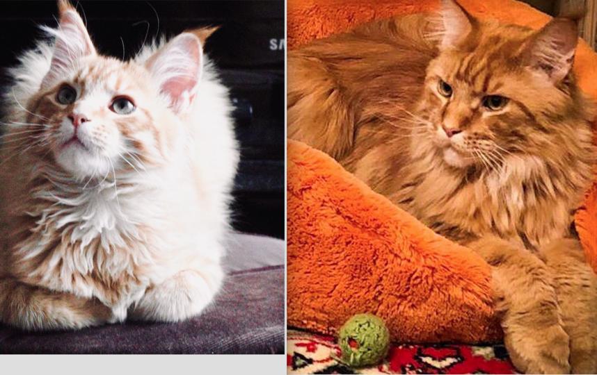 Ходили на выставку мейн-кунов и сразу влюбились в этих огромных котов. Завели котенка Лучика. Ему было 4 месяца. Самый шустрый и умный из помета. Теперь ему 2 года и 4 месяца. Вес этого красавца 8 кг. Очень умный, знает много команд. Взгляд суровый, но характер мягкий. Фото Постоянная читательница газеты Метро и участница конкурсов, Татьяна.