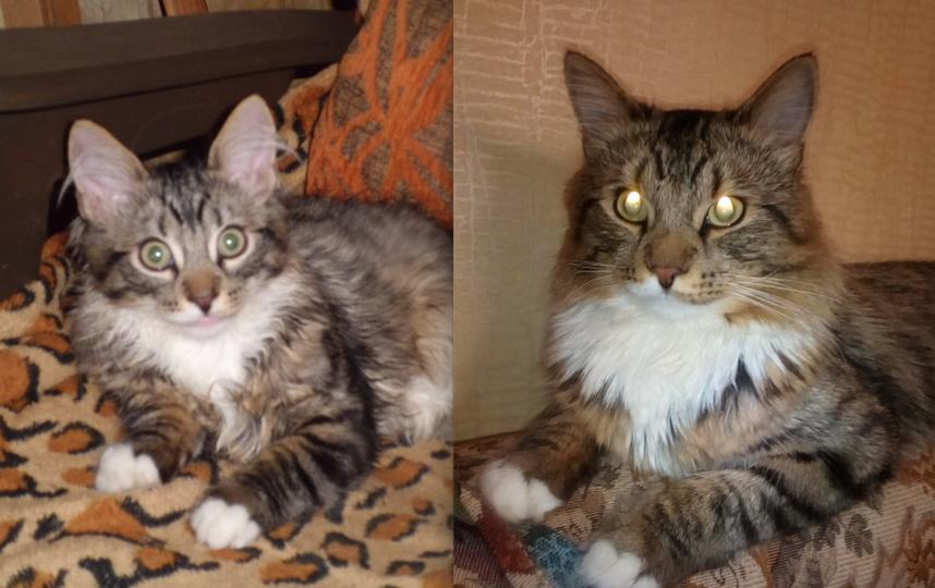 Это мой любимый кот Фома. На первой фотографии ему 3 месяца. Он удивительно веселый, любознательный и ласковый котик. Для него главное - быть рядом с хозяйкой. Несколько дней назад Фоме исполнилось два года ( вторая фотография). Он превратился в настоящего красавца. Фото Ксения Максимова
