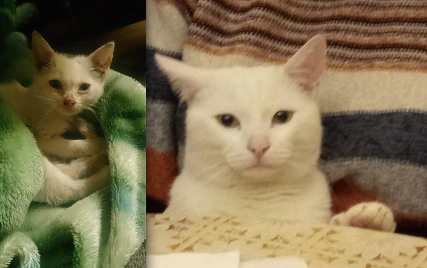 """Это фото нашего кота, зовут, его Беляшик. Его нашли в подвале завода, ему было примерно 1 месяц, он был гадким """"утенком """"и мы думали что он не выживет. Но мы постарались, отмыли его, отогрели, откормили ))). И вот наше чудо спустя два года превратился в прекрасного """"лебедя"""". Мы очень любим животных и это уже не первый кот которого мы подобрали и выходили. Очень его любим. Фото Багрова Маргарита"""