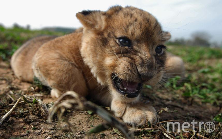 Льва обнаружили в кальянной Москвы. Фото Getty