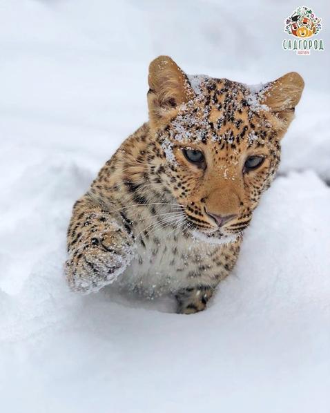 Леопард Милаша. Фото Скриншот Instagram: zoopark_vl